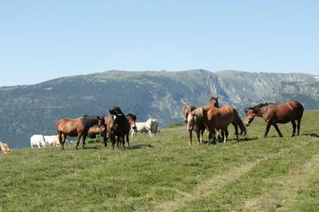 Troupeau de chevaux,Pyrénées audoises