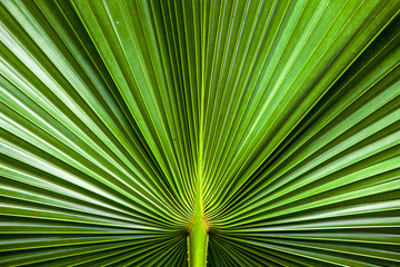 close up Texture of Green palm Leaf