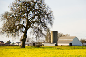 Country giant oak tree in golden field