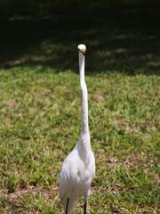 white egret . White  Crane