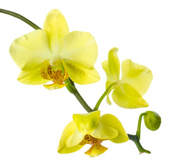 branch  yellow  orchid is isolated on a white background