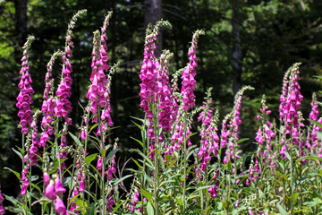 Fingerhut, foxgloves for alternative medicine