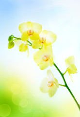 Yellow orchid on natural blue background
