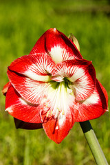 Amaryllis belladona (Hipperastrum)