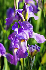 Closeup of purple iris flower