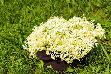 Fresh harvested elderflowers outside