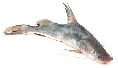 Long-whiskered catfish