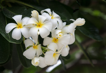 white Plumeria flower in Thailand