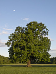 Oak and moon