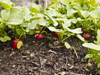 Radishes in a veggie bed