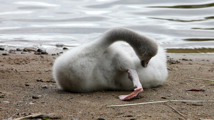 The young swan cleans feathers on the bank of the lake