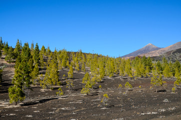 Forest In Teide National Park Tenerife