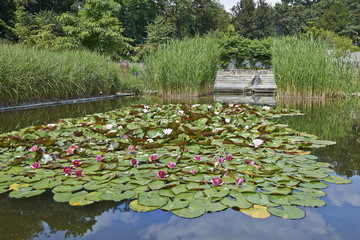 Water lillies floating in a pond