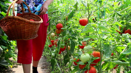 Female gardener gathering tomatoes in the vegetable greenhouse