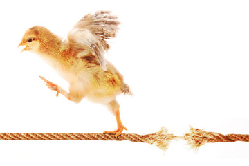 Chick Running on a Rope about to Break