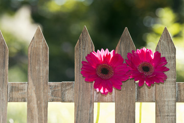 flowers at a fence