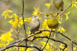 European greenfinch couple (Carduelis chloris) sitting on a twig