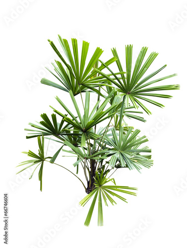 Staande foto Palm boom Licuala paludosa Griff tree isolated