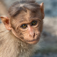 Baby Bonnet Macaque Portrait