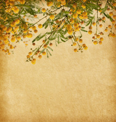 Old paper with yellow flowers of acacia.