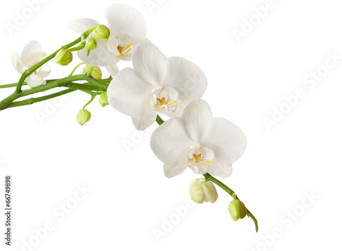 Papiers peints Orchidée white orchid isolated on white background
