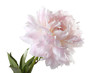 "pale pink peony varieties ""Jubilee"" isolated on white background"
