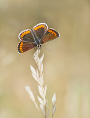 Aricia agestis - Brown argus butterfly, macro, on grass stem