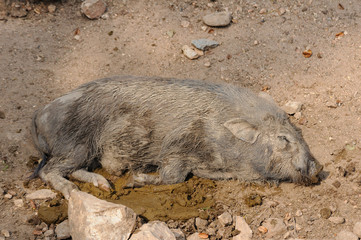 Baby boar sleep on pigs dung.