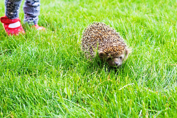 hedgehog and child