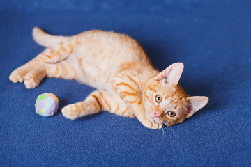 Red kitten on blue background