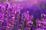 Fotoroleta Kwiat lawendy w zbliżeniu