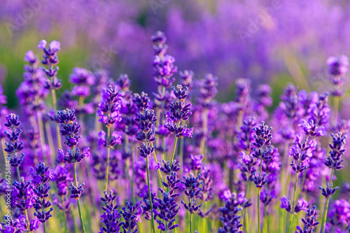 Lavender field in Tihany, Hungary - 66758848