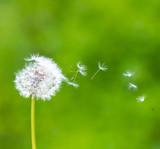 Fototapeta Pusteblume im Wind