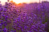 Fototapety Lavender field in Tihany, Hungary