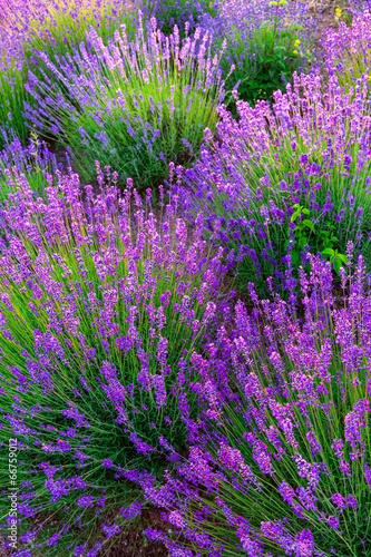 Lavender field in Tihany, Hungary - 66759012