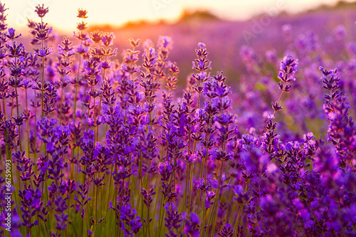 Foto op Canvas Violet Lavender field in Tihany, Hungary