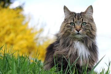 Norwegische Waldkatze in der Wiese