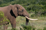 Elephant with long tusks in bush poster