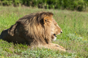 Lion lying in grass, roaring