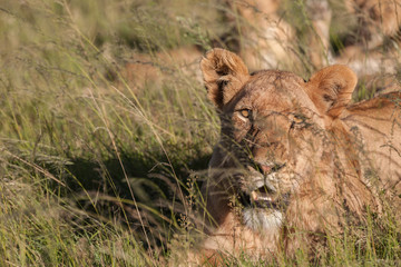 Lioness hiding in the grass