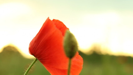 Red common poppy flower. Full HD with motorized slider. 1080p.