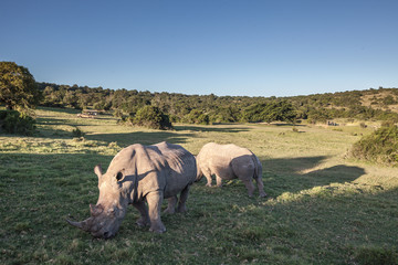 Two Rhino eating grass. Shcotia game reserve. South Africa