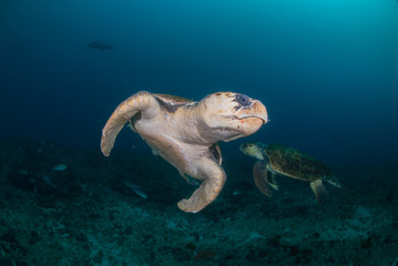 Two hawksbill turtles underwater