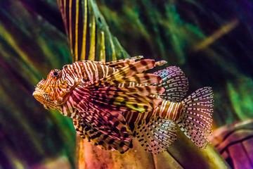 Close up view of a venomous Red lionfish