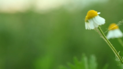 camomile chamomile flowers. Full HD with motorized slider. 1080p