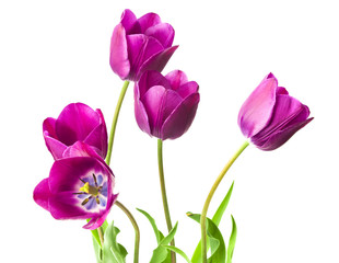 purple tulips isolated on white background