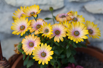 Yellow cape  daisy in garden
