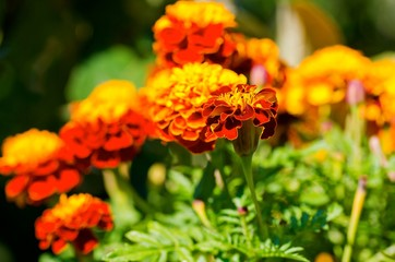 Plants of red and yellow double Marigold.