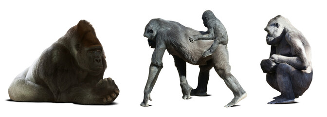 Set of gorillas. Isolated on white