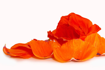 Red poppy flower isolated on white.